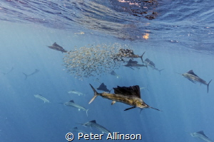 sailfish hunting sardines by Peter Allinson