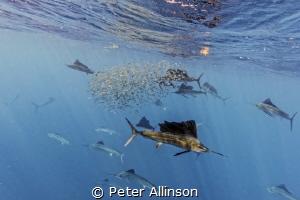 sailfish hunting sardines by Peter Allinson