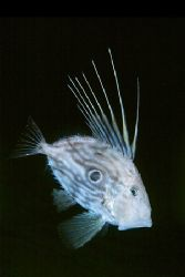Zeus faber. This is one of the strangest fishes living in... by Arthur Telle Thiemann