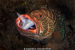 """""""Bit Off More Than You Can Chew"""" A grouper struggles wit... by Susannah H. Snowden-Smith"""