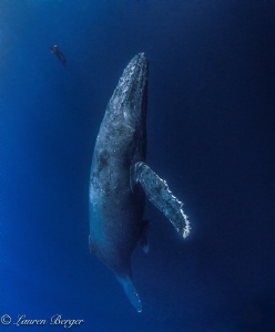 Whilst diving in the Socorro islands we came across a fam... by Lauren Berger