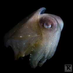 Juvenile Broadclub cuttlefish at Anilao.  You'll meet s... by Tommi Kokkola