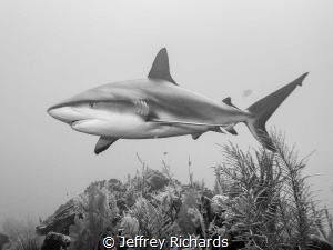 A Caribbean reef shark cruising the reef by Jeffrey Richards