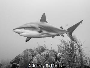 A Caribbean reef shark cruising the reef by Jeffrey Richards