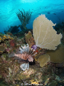 A lionfish in Grand Cayman by Jeffrey Richards