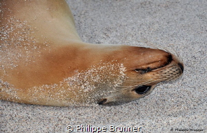 Sea lion by Philippe Brunner