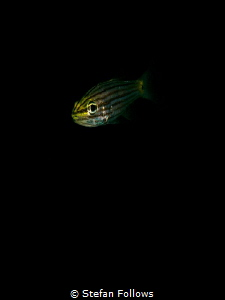 In my Solitude ... ! Cardinalfish - Apogonidae sp. Chalok... by Stefan Follows
