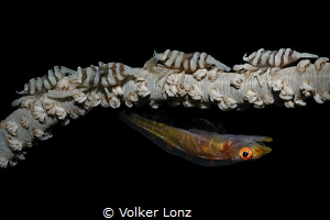 Goby and shrimps by Volker Lonz