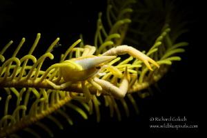 Squat Lobster,snoot lighting-Anilao,Phillippines by Richard Goluch
