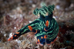 Nembrotha Kubaryana found in Buton South East Sulawesi by Jacob Mortensen