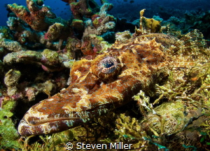 The colors in Crocodilefish' skin will light up to match ... by Steven Miller
