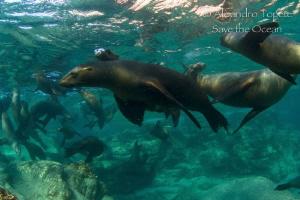 Sea Lions Family, La Paz Mexico by Alejandro Topete