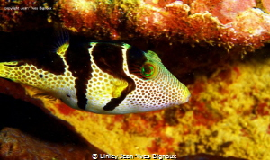 Puffer Fish Mauritius/ Linley Jean-Yves Bignoux by Linley Jean-Yves Bignoux