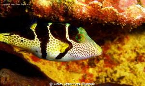 Puffer Fish Mauritius/ Linley Jean-Yves Bignoux by Linley Jean-Yves Bignoux