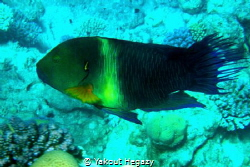 Broomtail wrasse-depth 2-30m by Yakout Hegazy