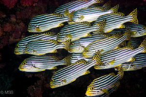 Sweetlips in Maldives. by Mehmet Salih Bilal