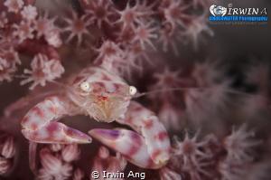 B E A U T Y Porcelain crab (Porcellanidae) Lembeh Strai... by Irwin Ang