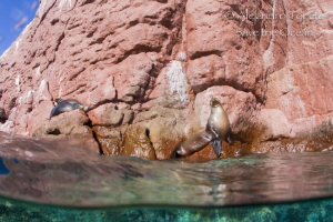 Sea Lion in the Rock, La Paz Mexico by Alejandro Topete
