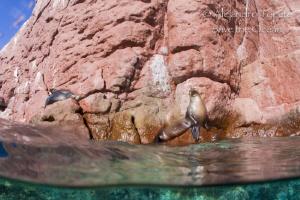 Sea Lion in the Rock, La Paz Mexico by Alejandro Topete