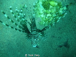 Here's a lionfish trying to hide in Neptune's cup by Nick Daly