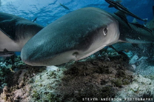 Lemon Sharks possess 2 things: character and a toothy smi... by Steven Anderson