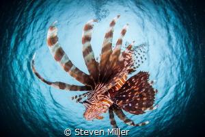Snelling Lionfish by Steven Miller