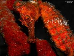 Longsnout Seahorse (Hippocampus reidi), St Lucia by Henley Spiers