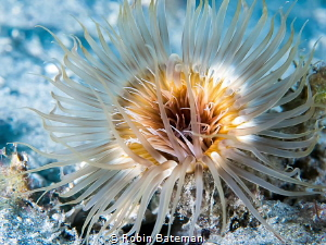 Anemone at Blue Heron Bridge - Florida by Robin Bateman