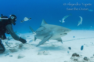 Bull Shark in Playa del Carmen,Playa del Carmen Mexico by Alejandro Topete