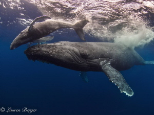 After spending several days with this mama and calf at Ro... by Lauren Berger