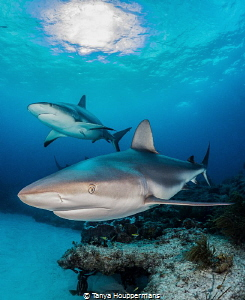 Neighborhood Watch Two Caribbean reef sharks watch over ... by Tanya Houppermans