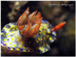 get off from my back...hyselodoris infucata by Satria Wijaya