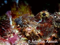 Scorpion fish in Sumilon, Philippines (edited) by Niko Torvinen
