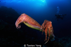 The squid couple before mating by Taotao Yang