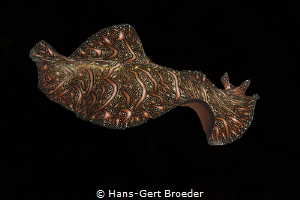 persian carpet flatworm,