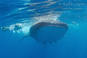 WhaleShark and Divers, Isla Contoy Mexico by Alejandro Topete
