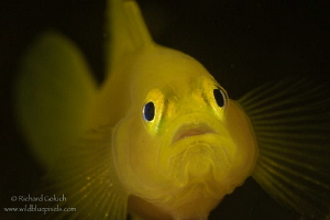 Yellow pygmy goby,full frame ,no crop-Anilao,Phillippines by Richard Goluch