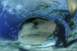 Tiger Sharks like Emma really know how to pose and attrac... by Steven Anderson