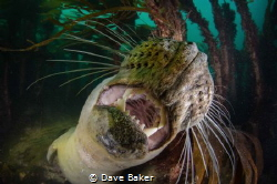 A very friendly grey seal who spent 45 minutes with us at... by Dave Baker