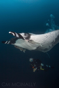 """Bubble Job"" These resident giant mantas seek out divers ... by Craig Mcinally"