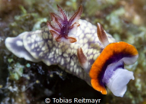 Nudibranch, Koh Haa by Tobias Reitmayr