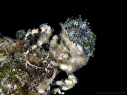 Decorator crab, found this on rock reef and size about 20mm. by Hon Ping