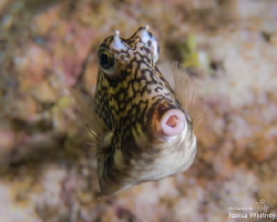 Curious cowfish from a night dive at Sunset Reef in Grand... by Jessica Whitney