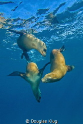Perfectly poised trio.  California sea lions frolic in th... by Douglas Klug