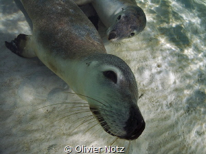 Unforgettable encounter with sea lions at the coast of We... by Olivier Notz