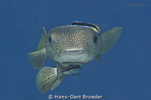 Porcupine fish, cleaner, Diodon hystrix being cleaned by ... by Hans-Gert Broeder