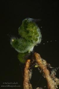 Algae Shrimp-Anilao,Phillippines. by Richard Goluch