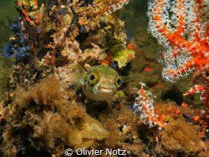 Porcupinefish at the Busselton Jetty by Olivier Notz