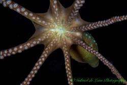"""""""Heads Up!"""" Flying Octopus by Gabriel De Leon Jr"""