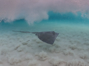 A stingray cruises through the breaking waves at Stingray... by Jeffrey Richards